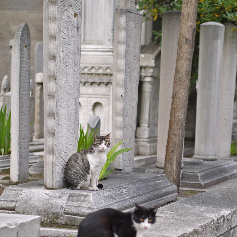 Коты Сулеймание