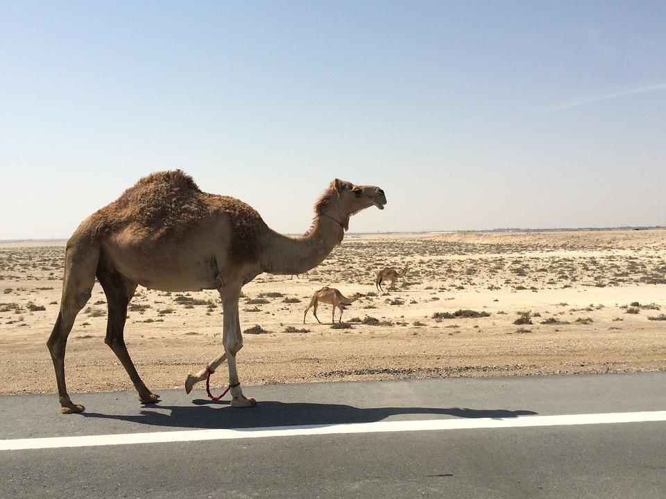 Пустыня и верблюд