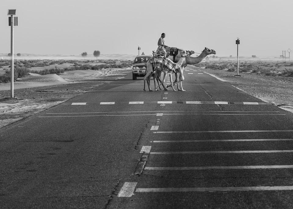 Верблюд на дороге