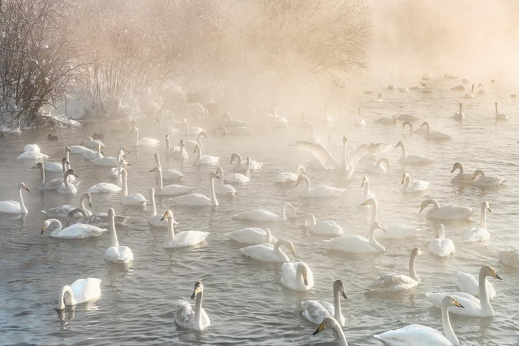 Лебеди в теплой реке
