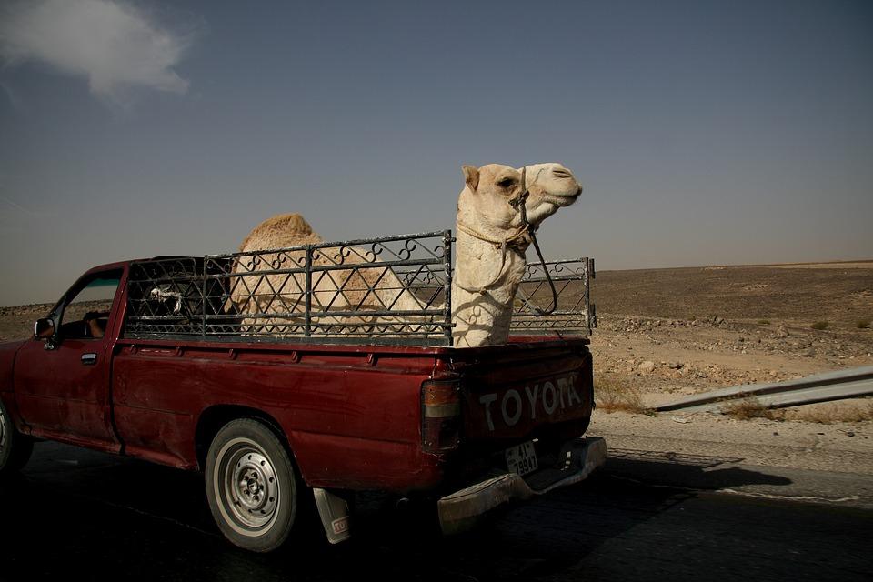 Верблюд в пикапе