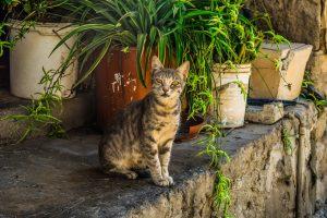 Кипрские коты