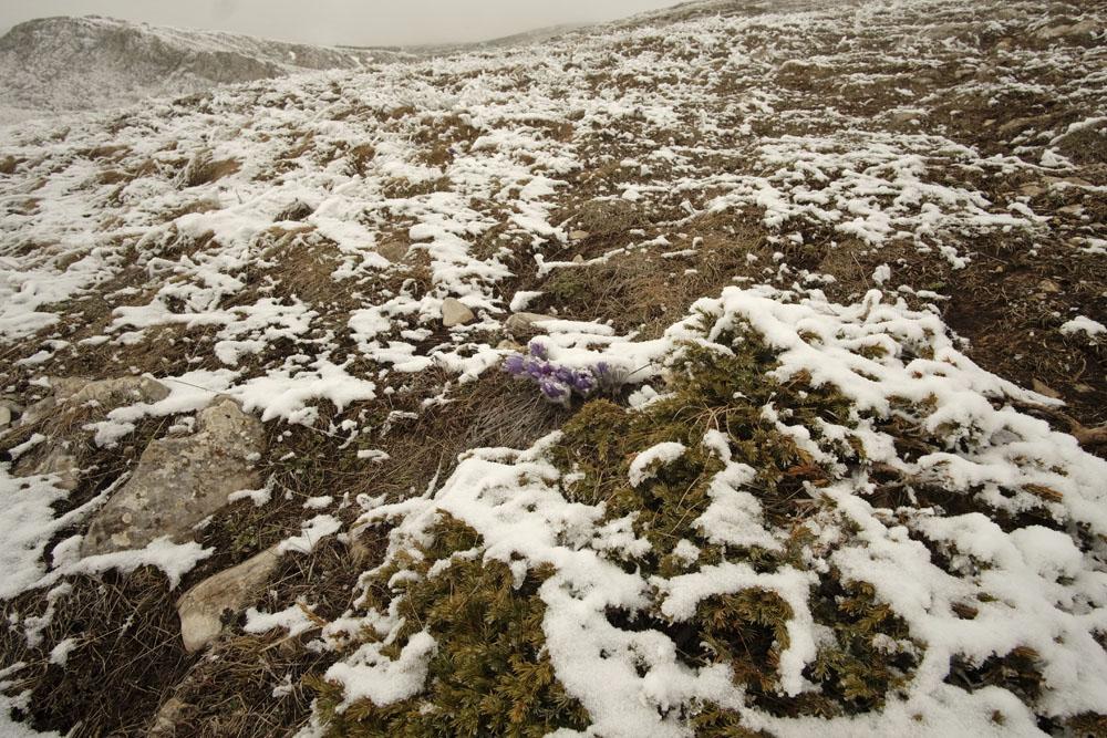 Сон-трава в снегу