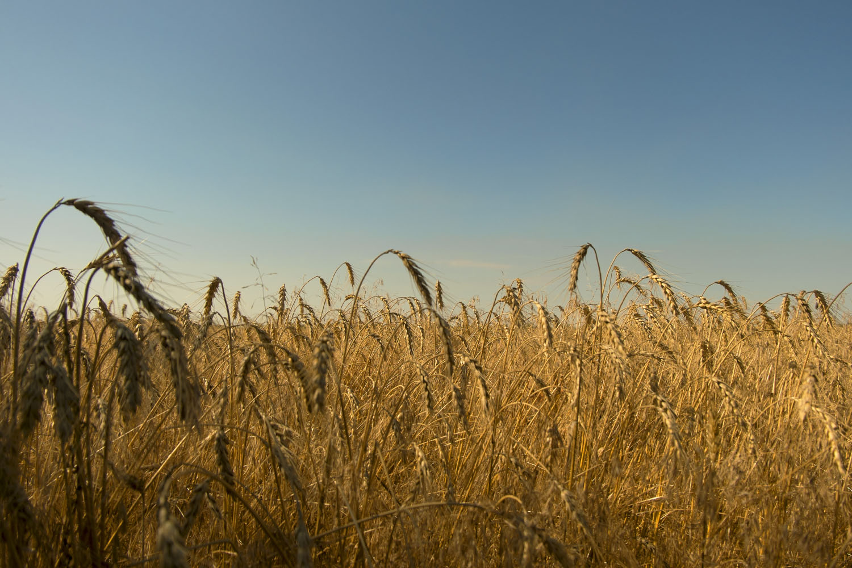 Приазовье, пшеничное поле - настоящий украинский флаг